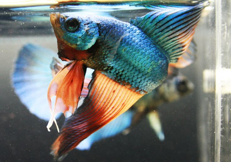 deviantART: More Like Red Cooper Feather Tail Betta male and female RT by ~HappyBettas
