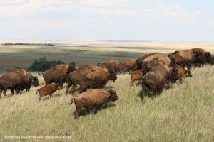 #bison #conservation | Victory for Wild Bison in Montana! - Defenders of Wildlife Blog