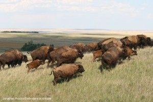 #bison #conservation | Victory for Wild Bison in Montana! - Defenders of Wildlife Blog
