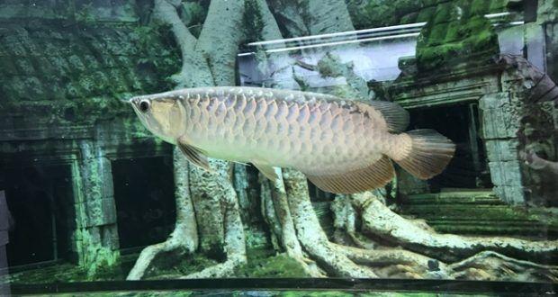 Cá rồng Quá bối 24k9999 45cm tại Cá cảnh Thái Hoà - Cá cảnh | Bể cá cảnh Thái Hòa