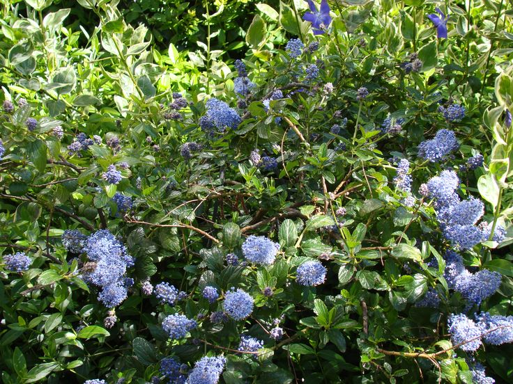 Ceanothus (California Lilac - Amerikaanse sering, May 2016 - mei 2016)