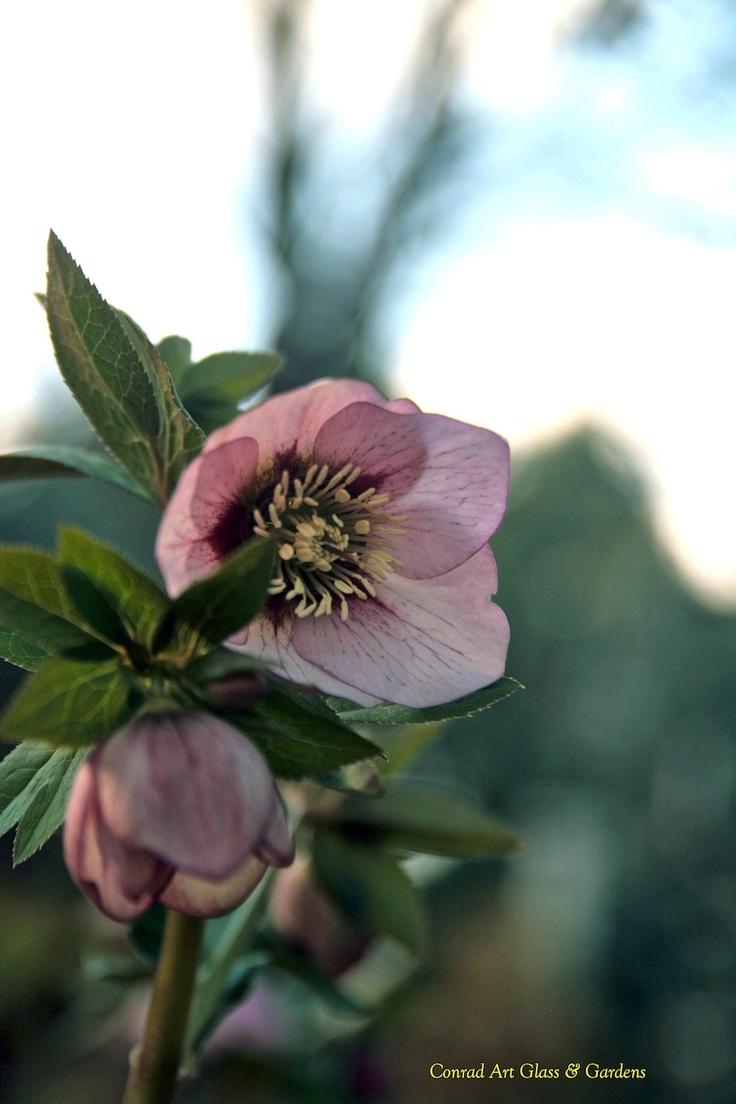 80 best hellebores images on pinterest botanical prints
