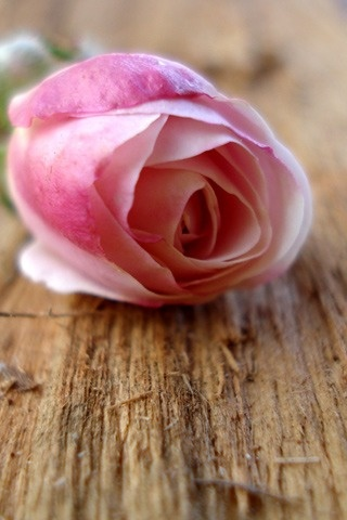 Tapete der rosafarbenen Rose 320×480