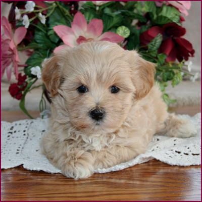Google Image Result for http://funniespet.com/wp-content/uploads/2012/04/cute-maltipoo-puppies.jpg