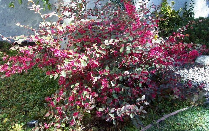 Lorapetalum c. 'plum delight'