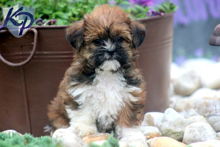 Timber – Shorkie Puppies for Sale in PA | Keystone Puppies