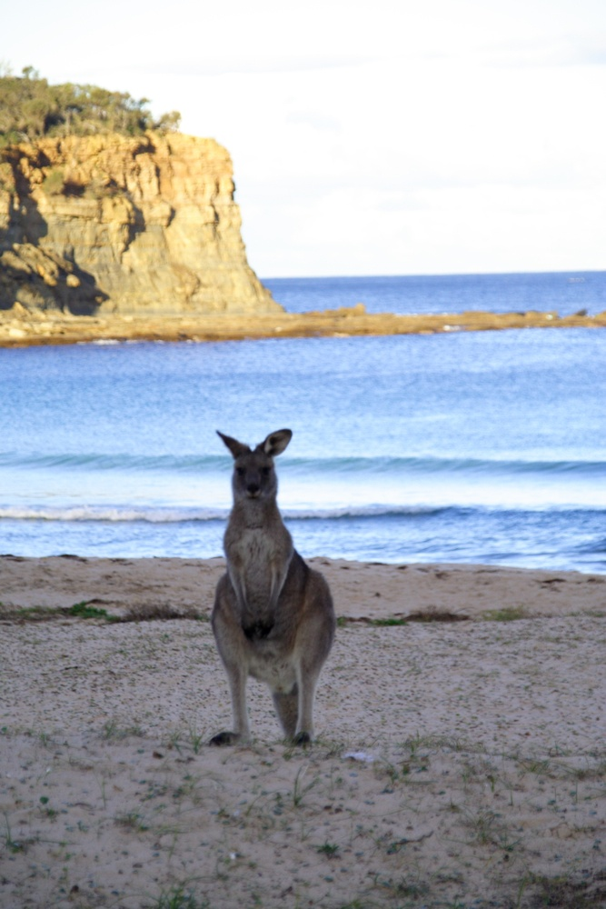 Pebbly Beach, NSW - a beach where kangaroos like to hang out. Very cool photo opportunity, and just a serene place to hang out.