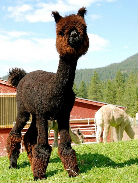 SHAVED ALPACA....OK...who did this to me when I was sleeping! @Arianna Avila thats you !