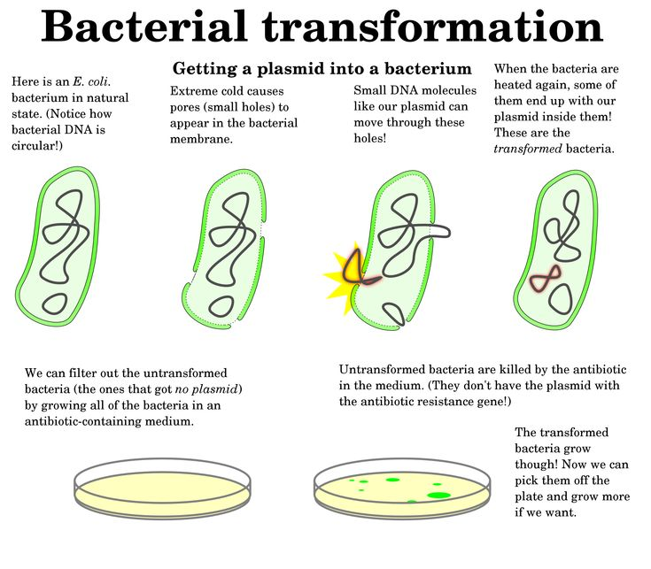 an experiment showcasing the horizontal gene transfer using escherichia coli Our finding suggest that cell-to-cell plasmid transformation may contribute to horizontal gene transfer between e coli strains (and other closely-related bacteria) outside of the laboratory environment.