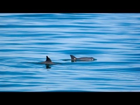 Save the critically endangered Vaquita Porpoise #wildlife #bucketlistnature