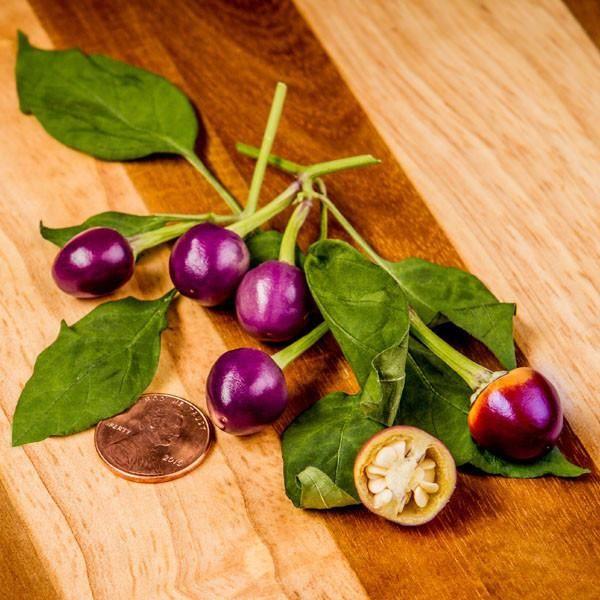 Filius Blue Hot Pepper - Pepper Joe's as a houseplant