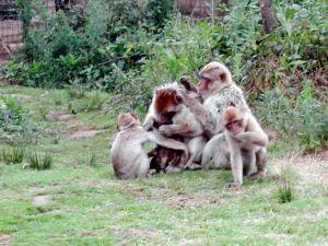 #Magot #Singe #Affe #Monkey #FarmAnimal #ZoodelaBoissièreduDoré #Zoo #Nantes #LoireAtlantique