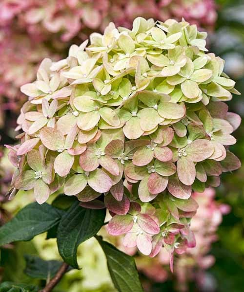Panicle Hydrangea (Hydrangea paniculata) is a sun-loving hydrangea you can train into a tree form. Most varieties, including 'Little Lime' (shown), boast cream-to-pink conical flowers that last into late summer. 10 to 22 feet tall and up to 8 feet wide in zones 4 to 8.   Photo: Botanic Images Inc./Garden World Images   thisoldhouse.com