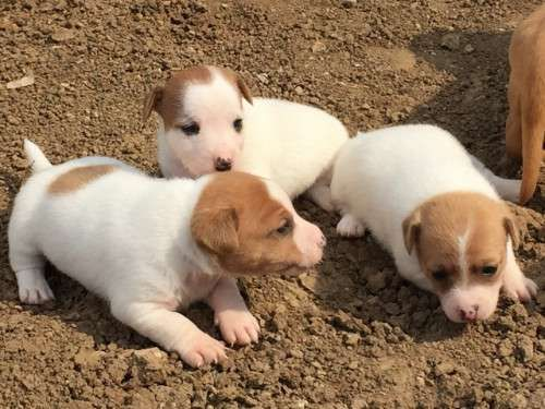 Purebred Jack Russell pups, tan and white, smooth coat, short legged, 2 males and 1 female. They will be wormed fortnightly, have had their first vaccination, be microchipped and vet checked ready for their new forever homes from 21st May, 2016. Both parents have beautiful natures and are great with kids. These pups have been raised in a family environment, making them an ideal family pet/companion - https://www.pups4sale.com.au/dog-breed/446/Jack-Russell-Terrier.html