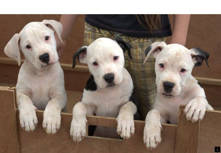 Find More Information On Dalmatian Puppies For Sale Simply Click Here For More Viewing The W American Bulldog Puppies Bulldog Puppies American Bulldog