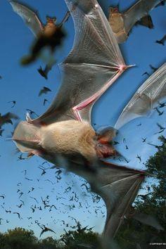 Sabías que un solo #Murciélago come cientos si no miles de mosquitos en una sola noche y una pequeña colonia de murciélagos comen miles de mosquitos en una noche.  refugios.wnature.org #RefugiosWN