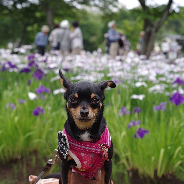 . 近くの公園で「あやめ祭り」やってたよ✨ 咲いてるのも、まだこれから咲くのもあったよーーー🐶🐾 . あやめ、花しょうぶ、かきつばた、どれも似ててどれも好き(笑) . #犬#いぬ#イヌ#dog#ドッグ#愛犬#わんこ#ワンコ#チワピン#ちわぴん#はなしょうぶ#あやめ祭り #城址公園