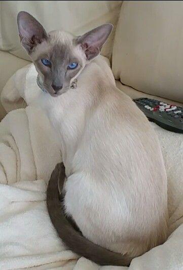 ...wow...beautiful coat, lovely face...Orig pinner: Kiyoshi, my blue point Siamese kitten