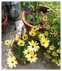 Kübelpflanzen und Sommerblumen müssen jetzt vor den Eisheiligen geschützt werden - http://www.tinto.de/tipps/die-eisheiligen-sind-da/