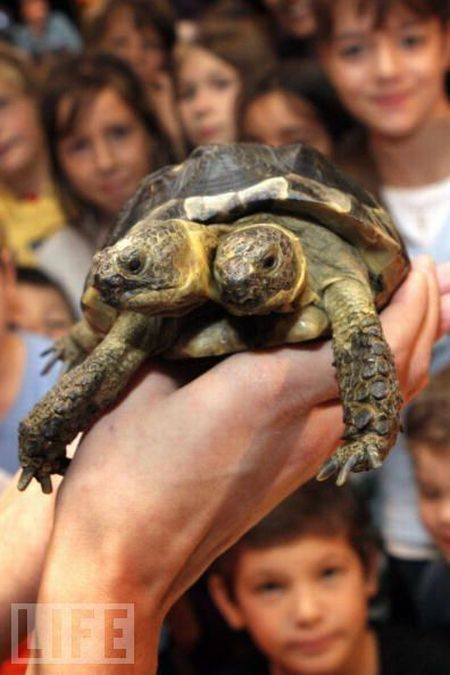 Janus, the Two-Headed Tortoise ~ is a Greek Tortoise, named after the two-headed Roman God.