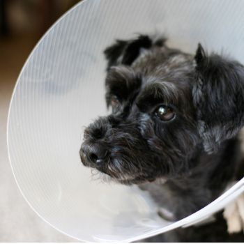 RSPCA - World for Pets - Elizabethan Collar For Pets ( Helps Prevent Chewing)