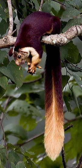 Indian Giant Squirrel: you probably won't get a chance to see this guy in the wild unless you're very high up in the canopy of an Indian rainforest.