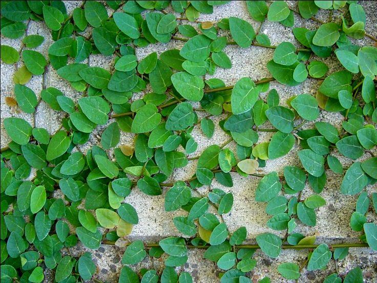Ficus pumila, Klatrefiken, Moraceae Morbærfamilien, STUE