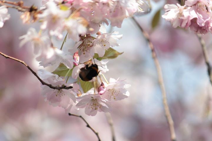 #Blossom #Tree #Spring #Bee shot by SLDphotography