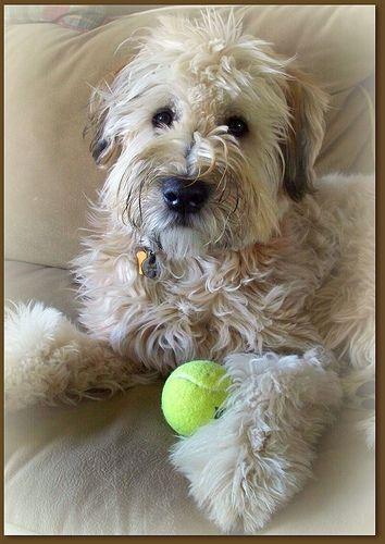 Wheaton Terrier With Tennis Ball