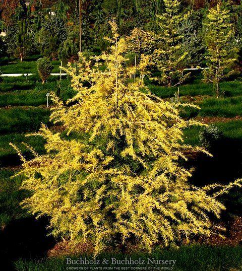 Kigi Nursery - Cedrus deodara ' Gold Cone ' Golden Himalayan Cedar, $25.00 (http://www.kiginursery.com/cedars/copy-of-cedrus-deodara-aurea-golden-himalayan-cedar/)