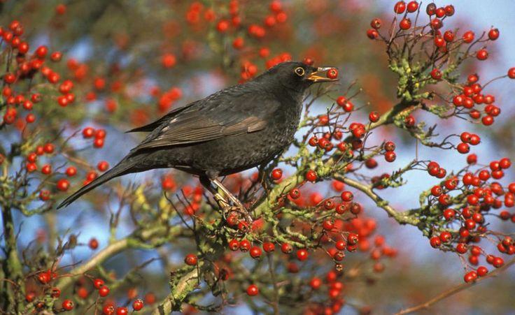 In Beerensträuchern finden Vögel nicht nur Schutz, sondern auch Nahrung