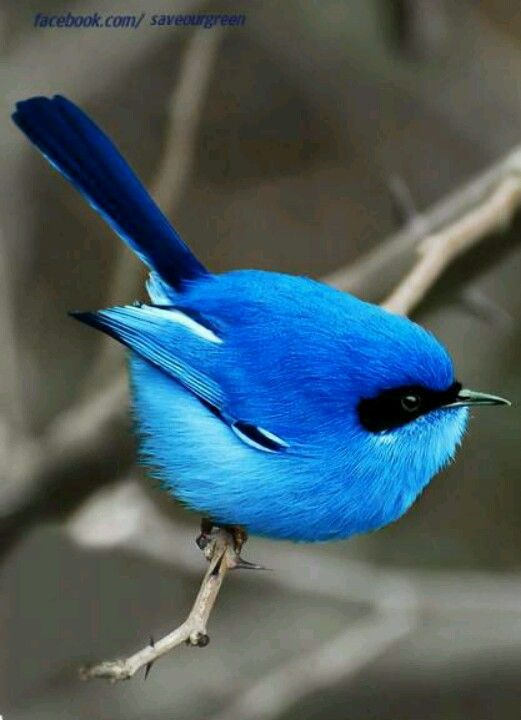 ♥ Superb Fairy Wren ~ Malurus cyaneus