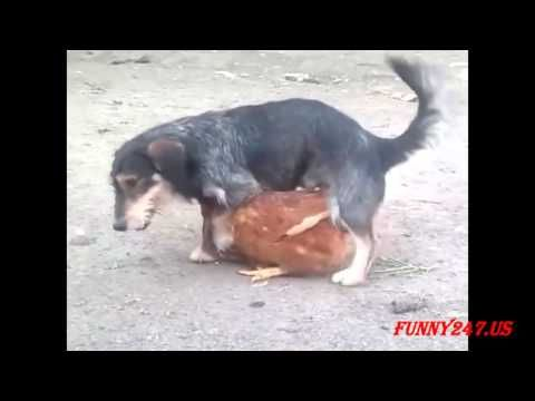 Funny Dog Humping Chicken Compilation
