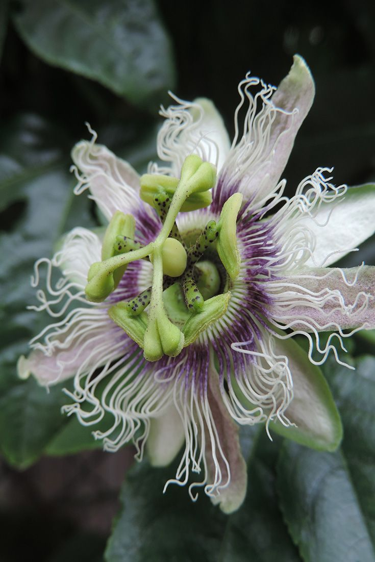 Passionfruit flower.  Is there anything more amazing then nature?
