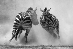 Vicious fighting in the dust. #Zebra #stallions #fight for dominance, biting and kicking, going for the softest, most vulnerable parts of their opponent. #Ndutu, #Ngorongoro Conservation Area, #Tanzania.