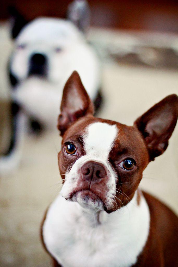 Clementine & Hogwarts by Genevieve Morrison - Red Boston Terrier