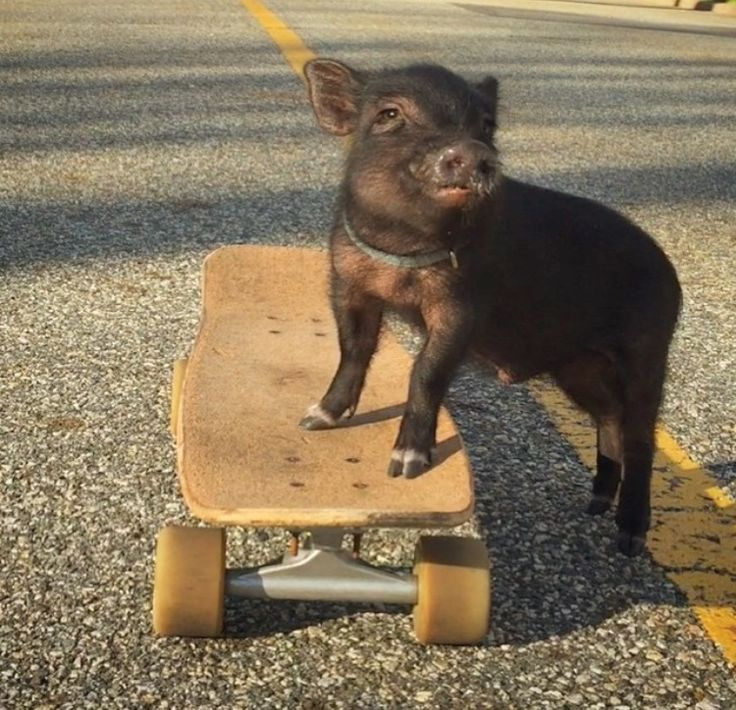 Ny Teacup Piggies - Micro Mini Pigs For Sale, Teacup Pigs, Teacup Pigs For Sale
