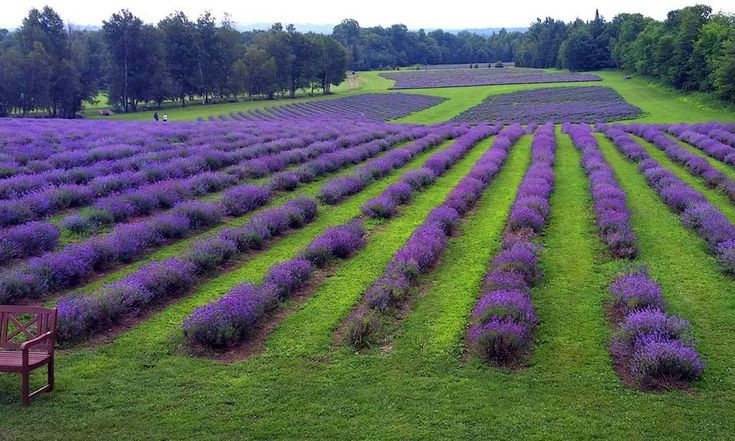 Who would not like to spend an afternoon in an euphoric field of #relaxation and beauty? Bleu Lavande is a #lavender paradise within Montreal's reach and makes for a perfect excursion in the #EasternTownships.