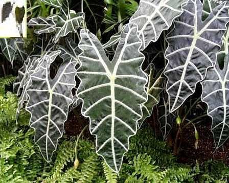 """Alocasia """"Amazonica"""" elephant ear plant"""