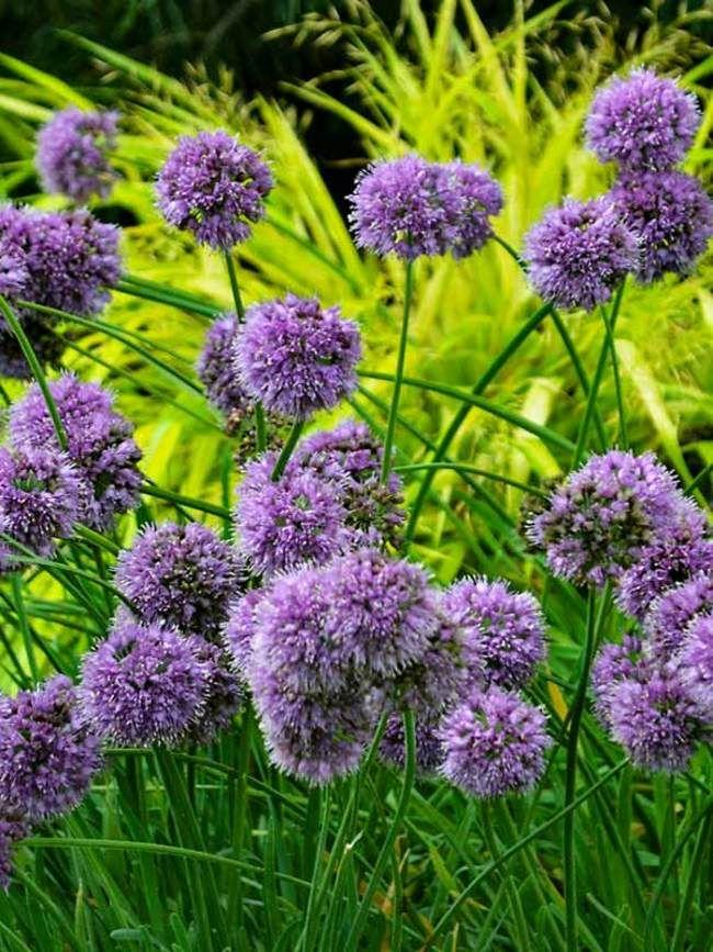 Allium Medusa Bluestone Perennials Flowers Perennials Perennial Plants Plants