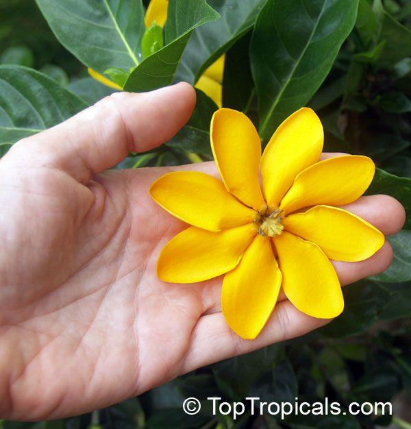 38 Best Images About Magnolias Amp Gardenias On Pinterest