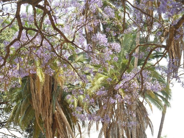 #Jacaranda and #Palm #Trees in #Blantyre #Malawi