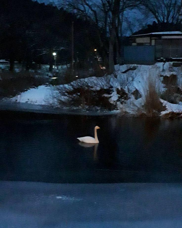 白鳥さんとの物語ですが 国内で鳥インフルが出たとの情報があったため少し警戒してしまい会いに行くのをお休みしていました白鳥さんゴメンね うにを連れていない時に見に行ってみたら白鳥さん達いなくてそのあとも何度か通ってみたけどやっぱりいなくなっちゃいました 他の住みかを見つけたのかな  昨日夕方お散歩の時に友さんから白鳥いたよとの情報をもらい行ってみたら羽いたんだけど別の子っぽいフォルムが違うこの子はどんな子かなぁ  #ペキニーズ #白鳥 #白鳥と犬 #犬と白鳥 #野鳥 #オオハクチョウ #大白鳥 #友達 #ペキスタグラム #ぺきにーず #ぺきすたぐらむ #pekingese #pekistagram #犬 #dog #dogstagram #animal #animals #北京犬 #페키니즈 #ilovedogs #swan #冬景色 #雪景色