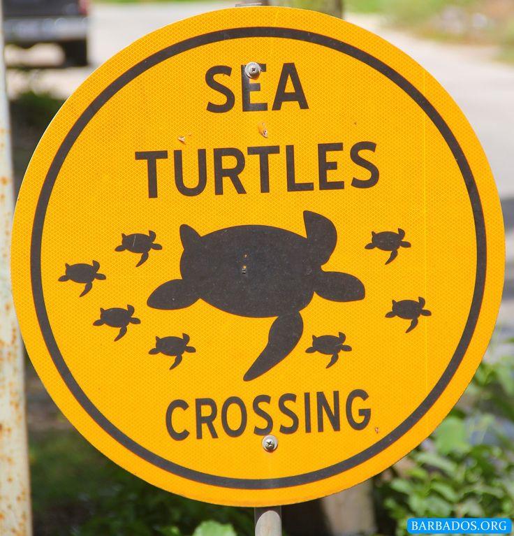 Sea turtle crossing in Barbados