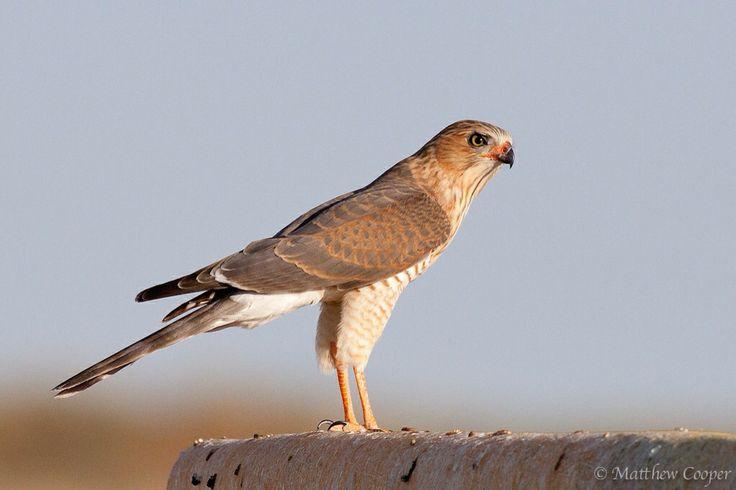 Juvenile Pale Chanting Gosshawk