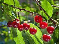 Jak prořezávat třešně a višně?