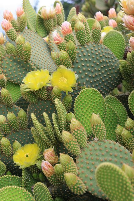 Cactus flowers --This world is really awesome. The woman who make our chocolate…