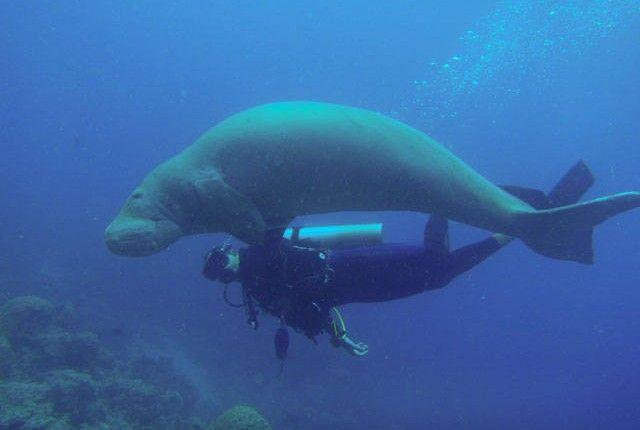 dugong and diver, Vanuatu