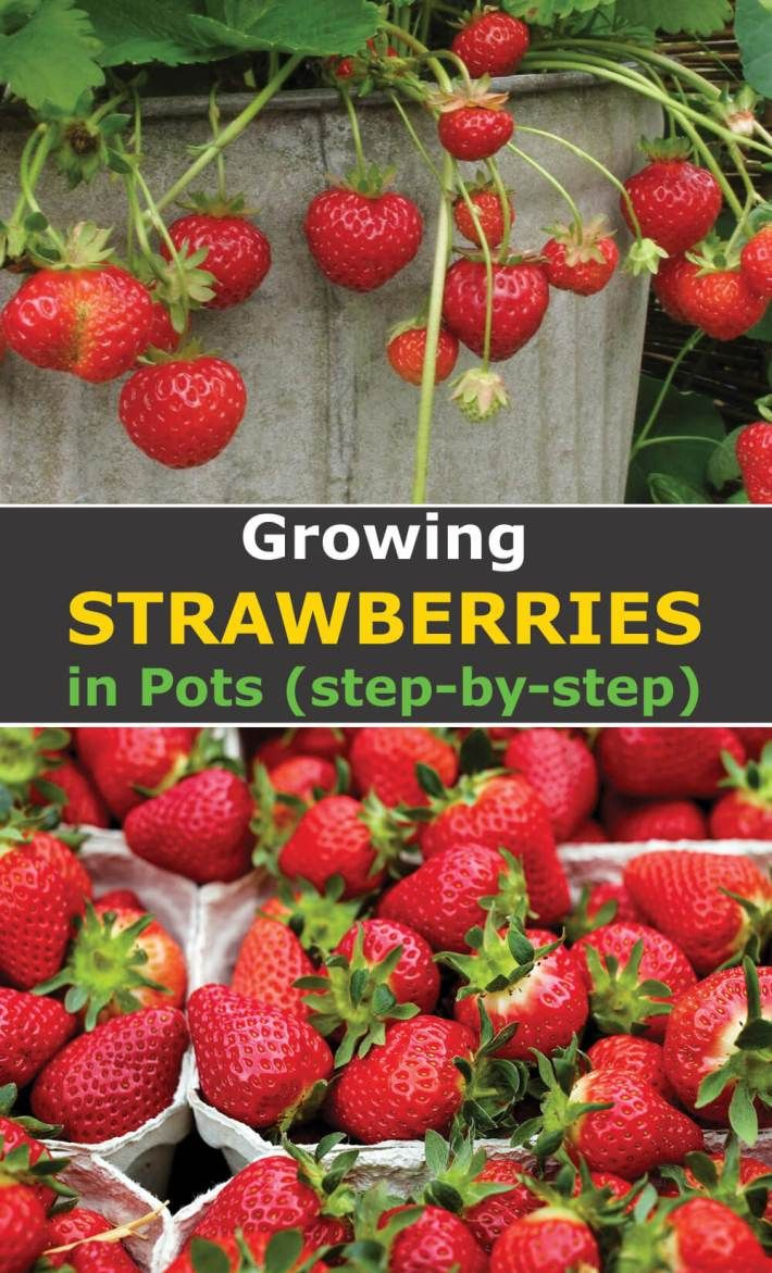 Easy Tips For Growing Strawberries In Pots Growing Strawberries Indoors Growing Strawberries Growing Strawberries Vertically