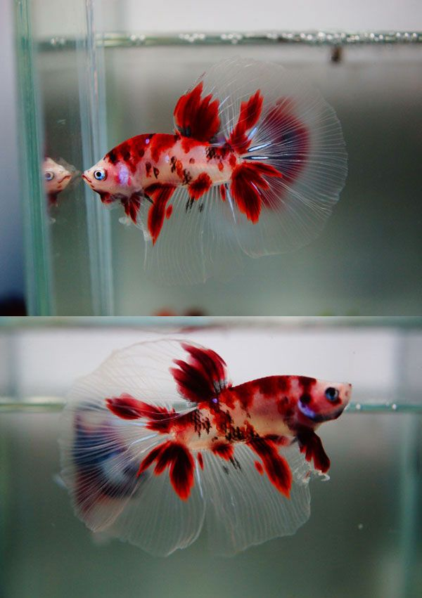 Stunning cellophane betta!